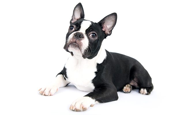 Bark & Bath Dog Grooming - French Bulldog