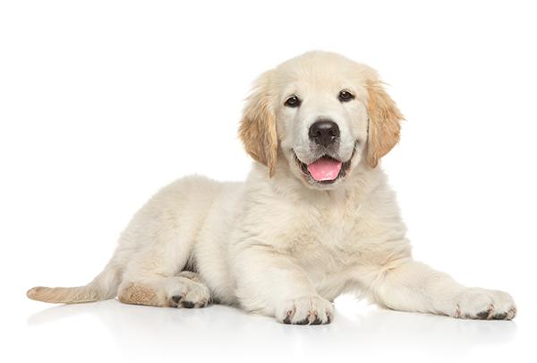 Golden Retriver - Bark & Bath Dog Grooming