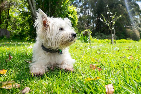 West Highland Terrier - Bark & Bath Dog Grooming
